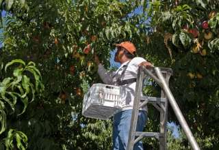 Peaches harvested early