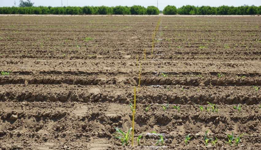 Sorghum in Drought Conditions