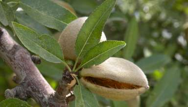 2017 CA Almond Forecast Up 5.1 Percent
