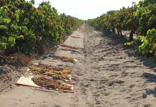 California Raisin Crop Forecast Down, Value Increasing