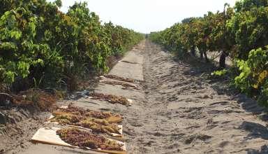 California Raisin Crop Forecast Down, Value Increasing