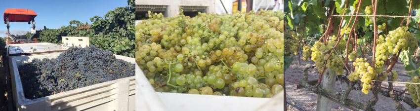 Sonoma Grape Harvest - California Ag Network