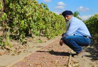 Drying Raisins after the Storm with Kingsburg Raisin Grower Jaswant Bal