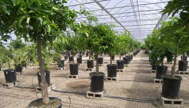 CA Citrus Clonal Protection Program Plays a Key Role in Fighting HLB