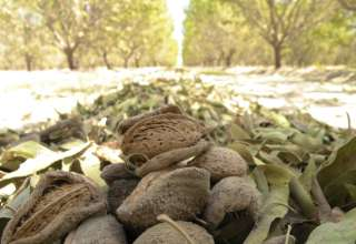 AF36, a New Tool for Controlling Aflatoxin Levels in Nut Crops