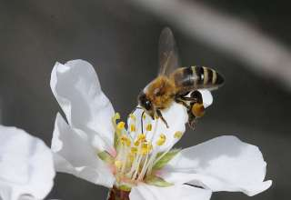 Forage Crops Yield More Successful Almond Pollination