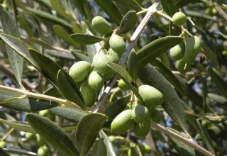 California Olive Oil Day
