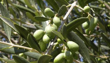 California Olive Oil Day