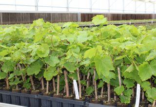 New Nematode Resistant Rootstocks for Grape Growers