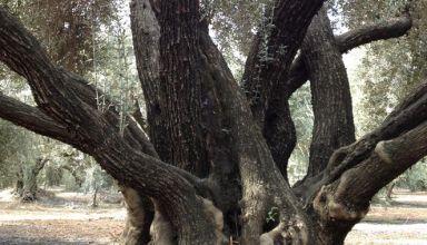 Olive Tree Musco