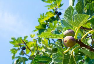 Navel Orangeworm Management in Figs
