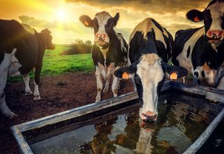 Effects of Heat Stress on Dry Cows & Their Next Lactation
