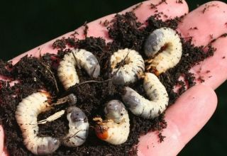 How to Control Grubs in Blueberries: Organic & Conventional Methods