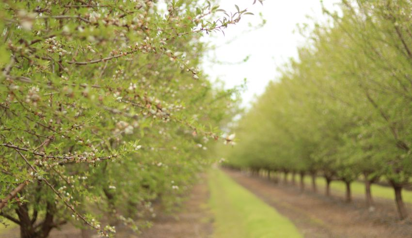 Almond Acreage increases