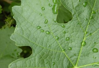 How the Stormy Weather is Impacting California Grape Production