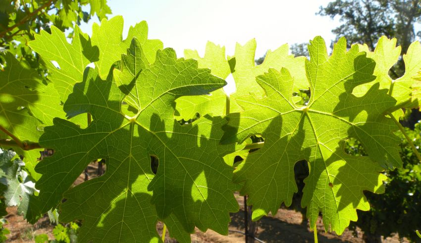 How to Prepare your Vineyard for the Heat of the Summer