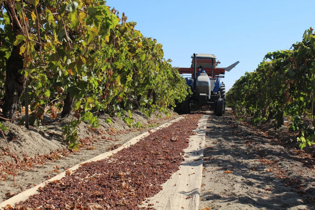 Raisin grape mechanical harvest