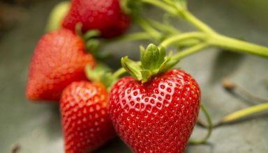 UC Davis Releases 5 New Strawberry Varieties