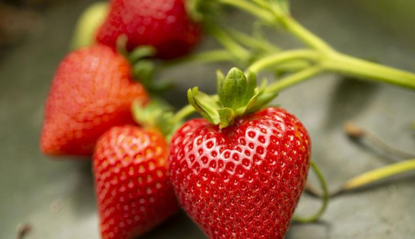 UC Davis Releases 5 New Strawberry Varieties