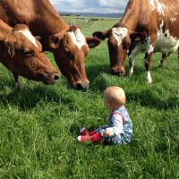 Ayrshire cattle  for sale