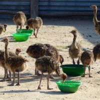 ostrich chicks and eggs available