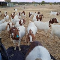 Boer goats available for sale call or text (210) 331-7404