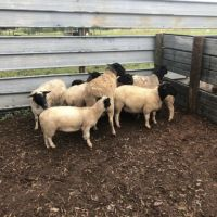 Commercial sheep breeds for sale