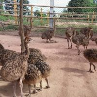 Emu,Ostriches and Rhea chicks for sale