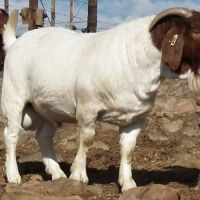 Boer goat Ewes,rams and lambs for sale