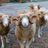 Dorset horn sheep for sale