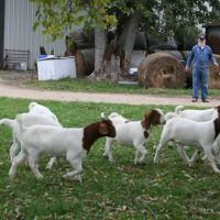 livestock(goats,sheep & cattle) available for sale