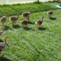 ostriches ,emus and rhea chicks for sale