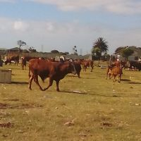 Boer goats  and brahman cattle for sale