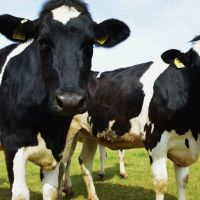 Holstein Friesian  cattle for sale
