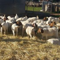 Boer Meat goats for sale