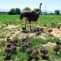 African black Ostriches for sale