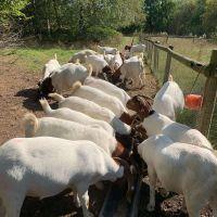Kiko ,Boer and Savanna goat breeding stock & Hair Sheep For Sale