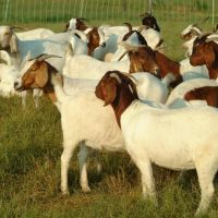 Healthy Goats and Sheep for Sale