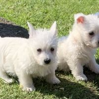 Full bred Westie Puppies Puppys Ready Now
