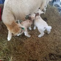 Sheep, Lambs, Ewes and Rams for sale