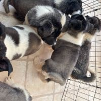 AKITA PUPPIES LOOKING FOR A LOVELY HOME FOR SALE!!!