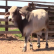 Braham cattle and calf pairs for sale