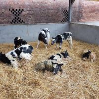 Cattle for sale (heifers, bulls, calves, steers and cows)