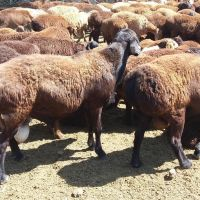 Awassi and Gissar sheep (Fat Tail) for sale