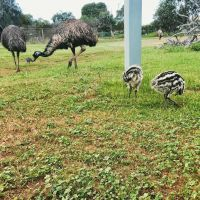 Emus and Ostriches and Rhea chicks for Sale