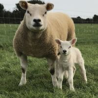 healthy goats and sheep available for sale here