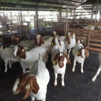 100% Full blood Boer Goats for sale in stock