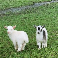 Healthy Goats Available for Sale
